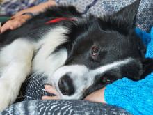 Othello är Årets sociala tjänstehund