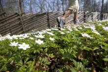 Rekordmånga anmälda till Linnémarschen – Sveriges största vandringsevent 27-28 april i Borås