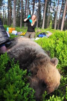 Den sovande björnen ger oss mer kunskap om hjärt- och kärlsjukdom