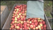 Volymen av KRAV-märkta äpplen ökar i år