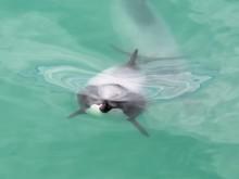 Möte med delfiner på världsomsegling