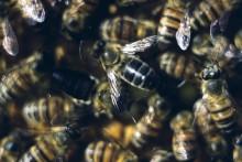 Så klarar sig honungsbin utan hanar