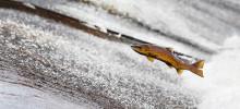 Fet fisk utan miljögifter skyddar mot typ 2-diabetes