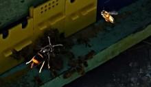 Sammetsgeting hotar honungsbin och vilda pollinatörer