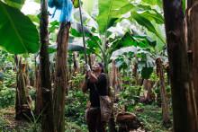 Bananbranschen: Nytt projekt ska testa levnadslöner i Costa Rica och Belize