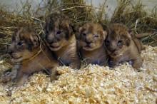 Utsläppsdags för Borås Djurparks lejonungar