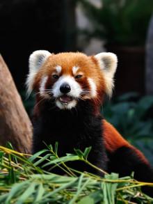Ny art i Borås Djurpark – Röd panda