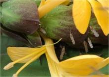Mygghonans sockerbegär kan bli vapen i kampen mot malaria