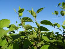 Ny container på Hagby ska minska risken för spridning av invasiva växter