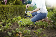 9 av 10 firar midsommar  – Odlingstrenden: så många väljer egenodlad potatis till silltallriken
