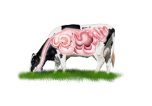How Probios® probiotics work in dairy cows