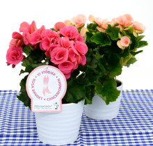 Dagens Rosa Produkt 16 oktober - en storblommig Begonia från Mäster Grön