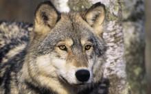 Djurskyddsintresset exkluderat i regeringens nya vargkommitté