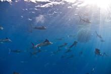 Samarbete lönsamt för segelfiskar