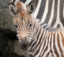 Zebrafödsel i Borås Djurpark