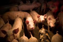 Dansk svineproduktion forventes at stige på trods af kritik og skovbrande