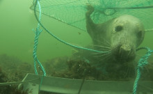 Smarta torskburar lurar sälen på fisken
