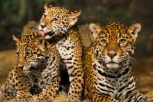 Godt nyt til jaguaren: Honduras vil beskytte Centralamerikas andenstørste skov