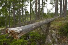 Död ved ger nytt liv i den brukade skogen