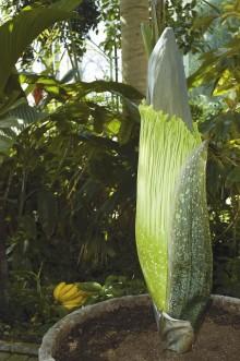 Sällsynt jätte ska blomma i Bergianska trädgården