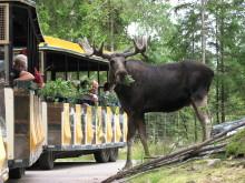 Smålandet älgsafari nominerad till Stora Turismpriset