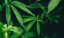 Ny kunskapsöversikt om cannabis