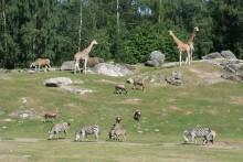 Rekordmånga djur ute på savannen!
