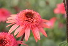 Blomsterlandets perenna växtnyheter 2014