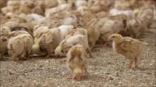 Äntligen kan vi på Bjärefågel föda upp långsamväxande kyckling