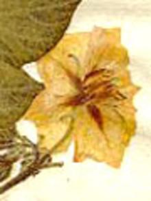 Linnésamling visar potatisens ursprung