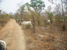 Mer mångfald i tropisk torrskog som brukas än i reservat