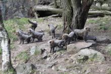 Bilder & filmer från gepardvisning i Borås Djurpark
