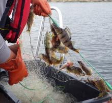Den rekordvarma sommaren påverkar fisken längs kusten