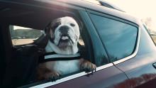 Minden harmadik autós helytelenül szállítja a kutyáját, veszélyeztetve ezzel magát, utasait és a többi közlekedőt