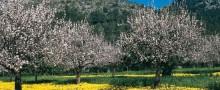 Mallorca och de blommande mandelträden