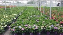 Forever&Evers giftfria hortensior och kamp för hållbart odlande har utmynnat i en nominering till ett av Hollands 100 innovativaste företag