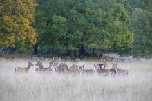 Växande viltstammar ger ökad skyddsjakt