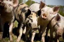 """""""Glada grisar blir god mat"""" - Sydsvenskan recenserar Ängavallen"""