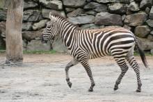 Borås Djurpark blev nytt hem för zebrahingsten Wilco