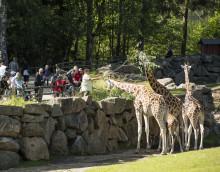 Girafferna tillbaka på Savannen i Borås Djurpark