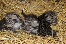 Fem trädleopardungar födda i Parken Zoo Eskilstuna