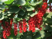 Solbær, stikkelsbær og rips - naturens supermat