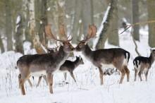 Nu utökas övervakningen av avmagringssjuka (CWD) hos hjortdjur
