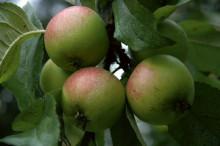 Äppelfrossa på Julita gård