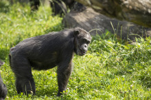 Forskningsprojekt på schimpansers smakupplevelser -  på Borås Djurpark