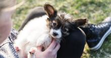 🐶  PENTUKIRJE: Rokottamalla suojaat koirasi tarttuvilta taudeilta