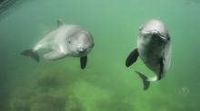 SAMBAHs fältarbete snart avslutat – det finns tumlare i Östersjön!