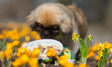 Påskens faror för husdjuret