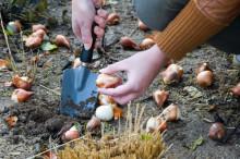 Skolor som har vunnit blomsterlökar till den Nordiska planteringsdagen