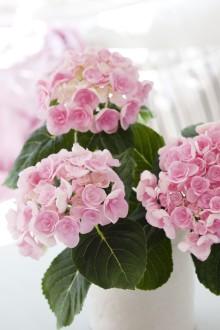 Ljuvlig hortensia